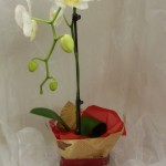 Potted orchids for the plant lover