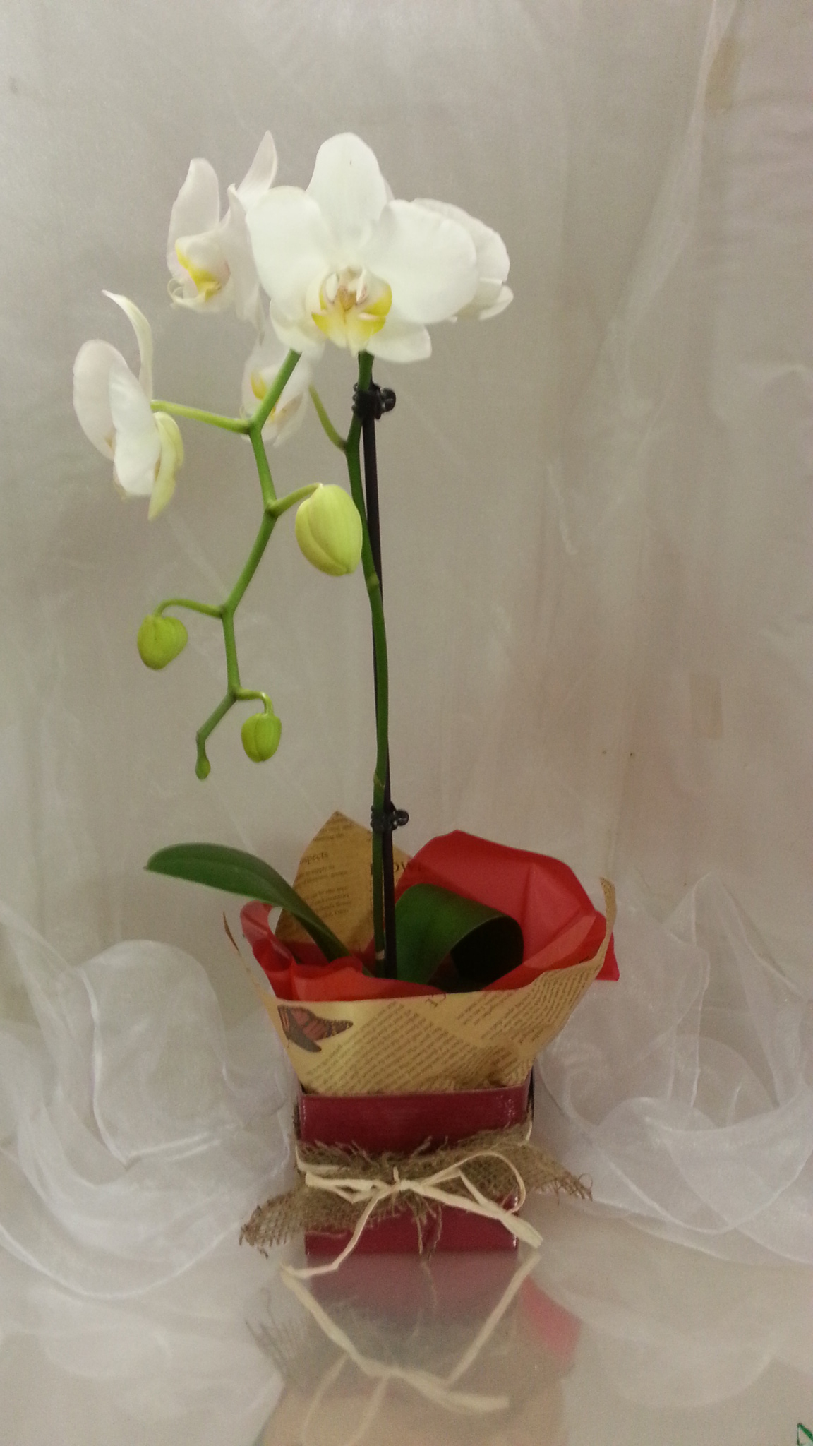 Indoor potted orchid berries blooms - How to care for potted orchids ...