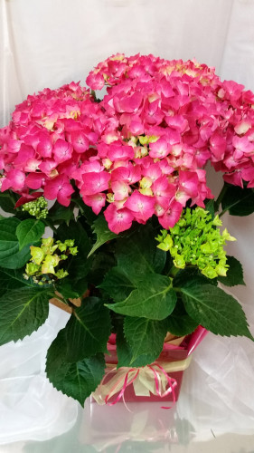 potted hydrangea berries blooms