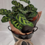 Indoor Foliage Plant