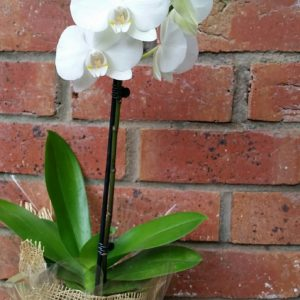 Indoor Potted Orchid